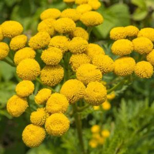 Pure Blue Tansy Essential Oil