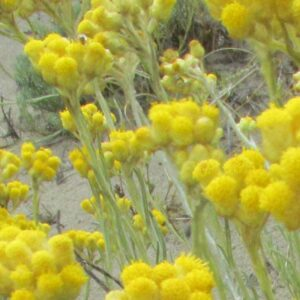 Pure Helichrysum Essential Oil