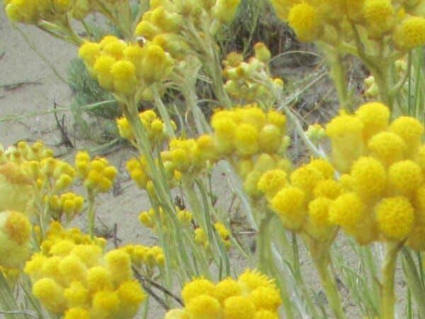Helichrysum (Immortelle) Hydrosol