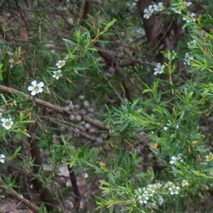 Pure Lemon Tea Tree Essential Oil
