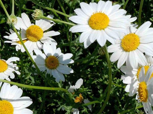 Pure Roman Chamomile Essential Oil