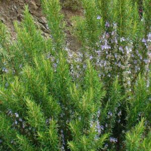 Pure Rosemary Essential Oil (Cineole)