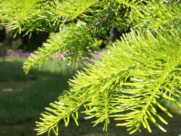 Pure Fir Needle Essential Oil (Siberian)