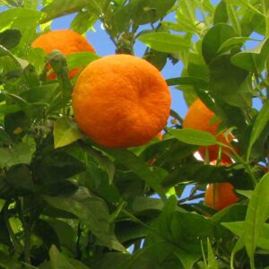Pure Orange Essential Oil (Sweet)