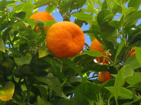 Pure Orange Essential Oil (Sweet)