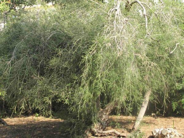 Pure Tea Tree Essential Oil