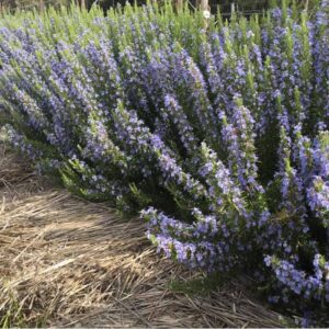 "Rosemary Essential Oil ""Herb Cottage"" Tasmanian"